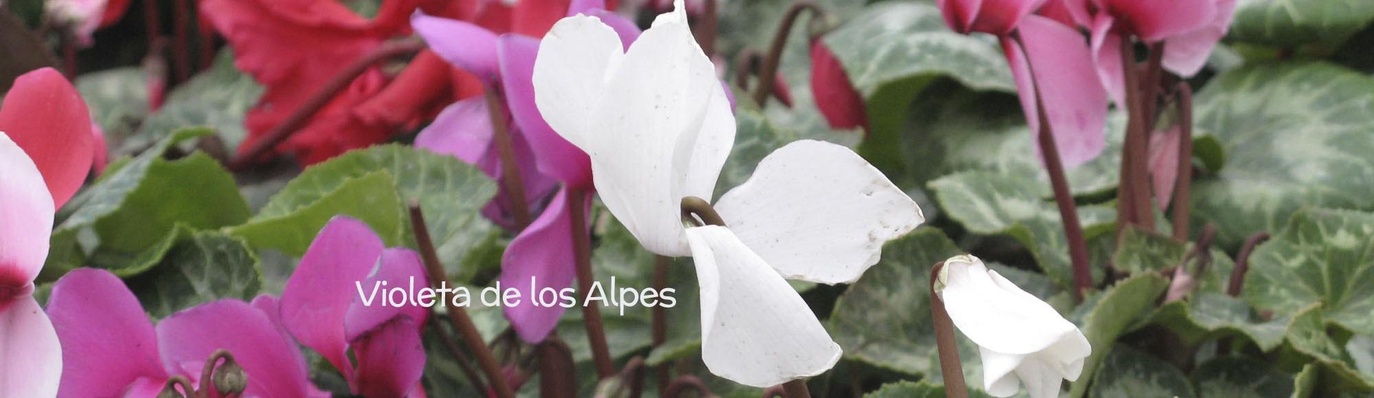 Violeta de los Alpes