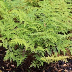 PTERIS TREMULA -