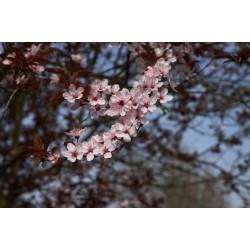 PRUNUS CERASIFERA - Ciruelo mirobolano-?Ciruelo-cerezoociruelo de jardín
