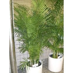ARECA LUTESCENS - Palmera Bambú- Palma de Frutos de Oro oPalma Areca - Areca