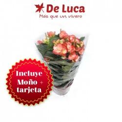 Begonia