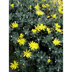 Margarita amarilla - Euryops