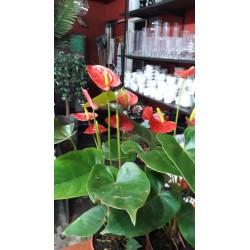 ANTHURIUM SCHERZERIANUM - anturio / flor de flamenco - anturiun