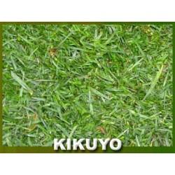 KIKUYO