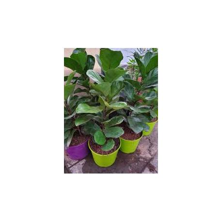 FICUS PANDURATA - arbol lira - Pandurata - envase 3 lts
