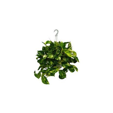 Epipremnum aureum - Potus
