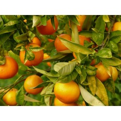 CITRUS TANGERINA - Mandarina