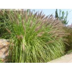 Pennisetum Verde