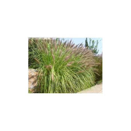 Pennisetum
