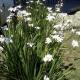 Dietes flor blanca
