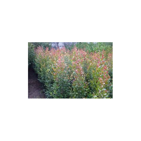 Eugenia arbusto