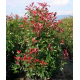 PHOTINIA - Fotinia