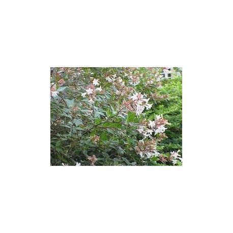 ABELIA arbusto