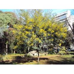 ACACIA DEALBATA - Aromo francés, mimosa