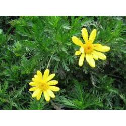 Euryops pectinatus 3 lts
