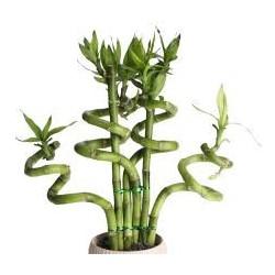 LUCKY BAMBOO - Lucky Bambu
