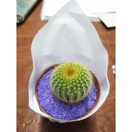 Cactus chico