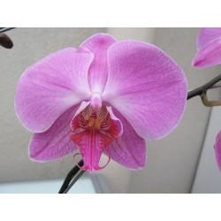 Orchidaceae - Orquídeas