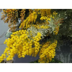 ACACIA BAILEYANA - Mimosa