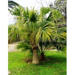 Livistona chinensis - latania o palmera de abanico chino