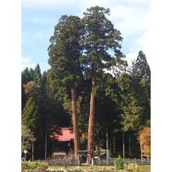 CRYPTOMERIA JAPONICA ELEGANS -